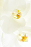 Closeup on white orchid Stock Photos