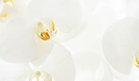 Closeup on white orchid Stock Image