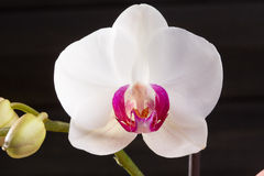 Closeup white orchid Phalaenopsis cultivars hybrid flower Stock Photo