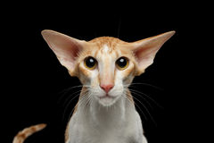 Closeup White Oriental Cat With Big Ears frightened Looking,  Stock Photos
