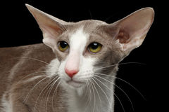 Closeup White Oriental Cat With Big Ears Looking up,  Stock Image