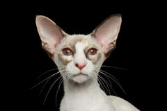 Closeup White Oriental Cat With red eyes Looking Camera, Isolated Royalty Free Stock Photos