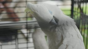 Closeup White Parrot in a Cage in the garden.  stock footage