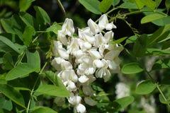 Closeup of white pea-like flowers of Robinia pseudoacacia. Closeup of white pea like flowers of Robinia pseudoacacia Royalty Free Stock Photos