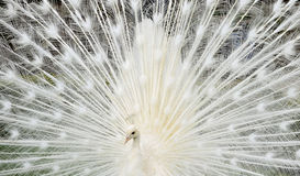 Closeup white peacock Royalty Free Stock Image
