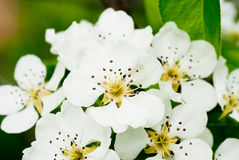 Closeup of the white pear blossom in spring Stock Images