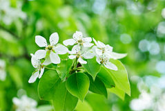 Closeup of the white pear blossom Stock Photography