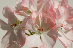 Closeup of White Pelargonium Flower with Red Speckles and Rim Stock Photos