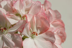 Closeup of White Pelargonium Flower with Red Speckles and Rim Stock Image