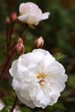 Closeup of White Peony. In Summer Garden Stock Images