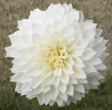 Closeup of a White Peony. In Summer stock photography