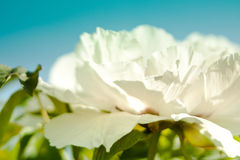 Closeup of white peony flower Stock Photo