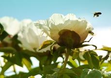 Closeup of white peony flower Stock Photo