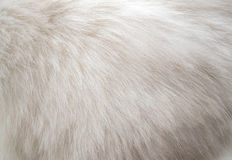 Closeup white persian cat fur texture  background.  Royalty Free Stock Photography