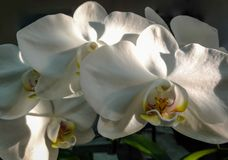 Closeup of white phalaenopsis orchid flower branch, Phalaenopsis known as the Moth Orchid or Phal stock images