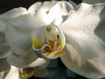 Closeup of white phalaenopsis orchid flower, Phalaenopsis known as the Moth Orchid or Phal on the black stock images