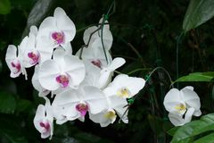 White Phalaenopsis orchid Royalty Free Stock Images