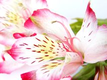 Closeup of White and Pink Alstroemeria flower Stock Image