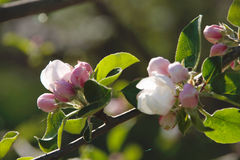 Closeup of apple blossom. Closeup of white and pink apple blossoms on apple tree with blurred background Stock Images