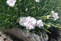 Closeup of white and pink flower of Dianthus deltoides royalty free stock image