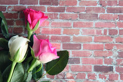 Closeup of white and pink roses Stock Photography