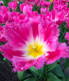Closeup white and  pink show tulip Royalty Free Stock Photo