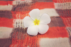 Closeup white plumeria flower Stock Images