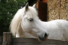 Closeup of a white pony horse. Pony looking over the corral door Royalty Free Stock Photography
