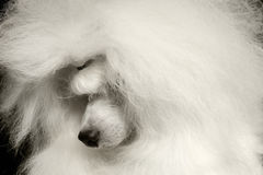 Closeup White Poodle Dog guiltily lowered head Isolated on Black Stock Photo