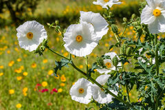 Closeup of a White Prickly Poppy Wildflower Blossom in Texas Royalty Free Stock Photo