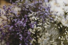 Closeup of white and purple cassiopeia flowers royalty free stock photos