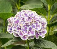 Closeup of a white and purple hydrangea flower in a hydrangea nu Royalty Free Stock Image