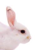 Closeup of  white rabbit Royalty Free Stock Photo
