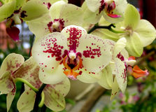 Closeup of white and red orchids Stock Image