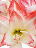 Closeup of a White and Red Striped Amaryllis Royalty Free Stock Image