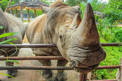 Closeup of white rhino or Ceratotherium simum. Close-up of white rhinoceros or Ceratotherium simumin captivity Royalty Free Stock Photography