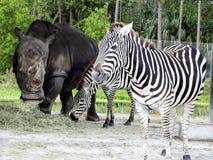 Closeup of White Rhino and Zebra Feeding. Endangered horn striped bovine Preserve Royalty Free Stock Image