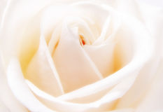 Closeup of white rose. Closeup of beautiful white rose bloom Royalty Free Stock Image