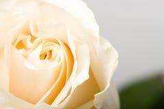 Closeup white rose Stock Image