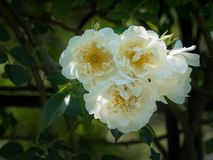 Closeup of white rose blossoms in spring. Dark green background Royalty Free Stock Photography