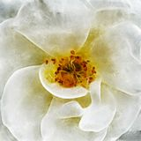 Closeup White Rose Fine Art. Digital painting created by hand using several techniques to resemble watercolor on paper Stock Photography