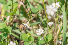 Closeup of white rose flower in a garden with a bee on the flower Royalty Free Stock Image