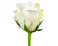 Closeup of white rose flower Stock Image