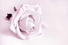Closeup of white rose Royalty Free Stock Photo