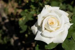 Closeup white rose on tree, Pure love concepts, First love concepts, Macro images. Closeup white rose on tree, Pure love concepts for valentines day stock photos