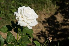 Closeup white rose on tree, Pure love concepts, First love concepts, Macro images. Closeup white rose on tree, Pure love concepts for valentines day stock images
