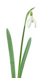 Single Isolated Snowdrop Stock Photography