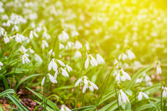 Closeup white snowdrops Royalty Free Stock Images