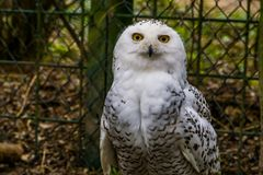 Closeup of a white snowy owl, Beautiful arctic bird, Vulnerable animal specie from Eurasia. A closeup of a white snowy owl, Beautiful arctic bird, Vulnerable stock photo