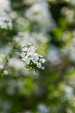 Closeup of white spiraea flowers Royalty Free Stock Photos